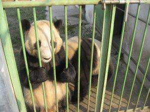 Pandas in jail