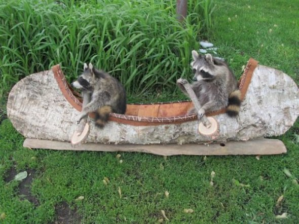 a.aaa-Two-Raccoons-Paddling-a-Cano